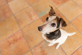 small dog stands on his hind legs and looks upwards - Jack Russell Terrier Hound 10 years old, hair style smooth