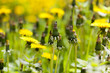 Dandelions in the spring meadow