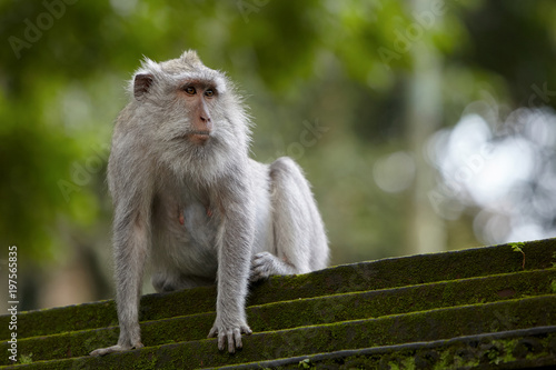 Fotobehang Aap Long-tailed macaques in Sacred Monkey Forest in Ubud, Bali