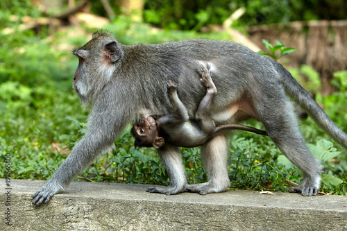 Aluminium Aap Long-tailed macaques in Sacred Monkey Forest in Ubud, Bali