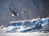 Bald eagle hunting - 197578634