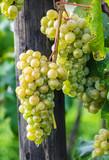 Cachos de uvas verdes - 197612002