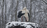 white stork in the snow