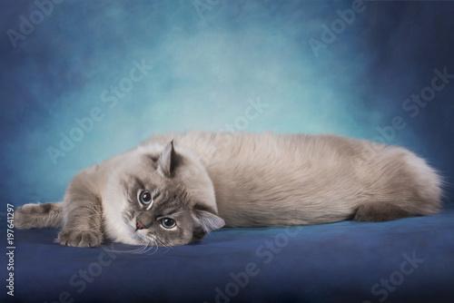 Siberian kot na błękitnym odosobnionym tle