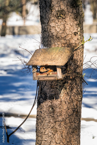 Panoramic winter landscape. Squirrel on the snow in forest with inclined trees, Minsk, Belarus.