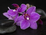 orchid flowers on a black background.
