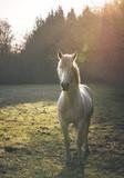 Cheval blanc au petit matin