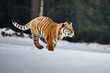 Siberian Tiger in the snow (Panthera tigris)