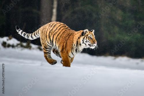 Tygrys syberyjski w śniegu (Panthera tigris)