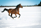 Horse running free, galloping and trotting in the sunshine, in the snow in a pasture. - 197666805