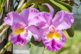 Purple Cattleya orchid.