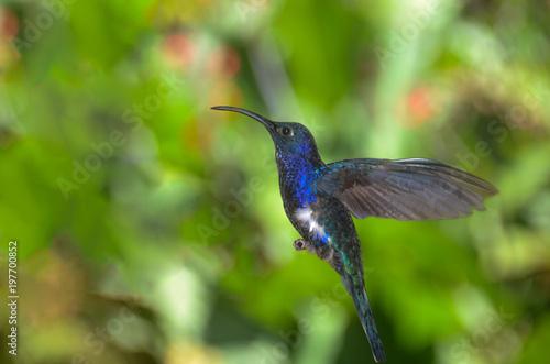 Hummingbird w Kostaryce