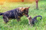 Dog and cat - best friends, walk in the grass in the garden in autumn - 197721015