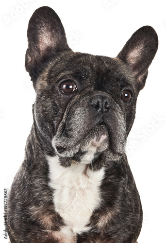 Foto op Plexiglas Franse bulldog French Bulldog Funny Face Portrait Isolated on White