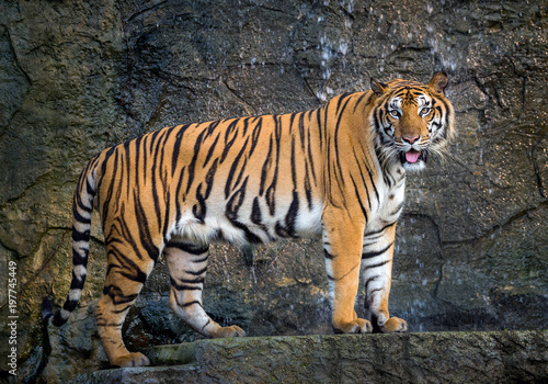 Plexiglas Tijger Sumatra tiger is standing gracefully in the natural atmosphere of the zoo.