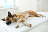 Sick pet lying on table in veterinarian clinics before medical check-up