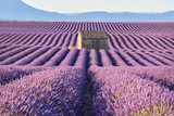 Lavender fields in Valensole with stone house in morning Summer light. Alpes de Haute Provence, France