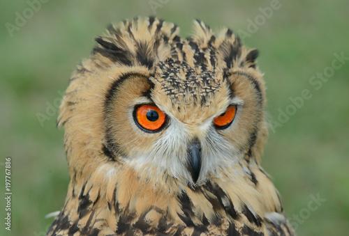 Indian eagle-owl, Bubo bengalensis, puchacz indyjski