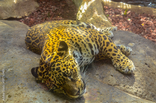 Foto op Plexiglas Panter Panthera onca, Jaguar, resting