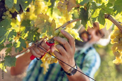 Foto Murales Vineyard Harvest