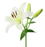 Beautiful white Lily with buds isolated on white background, including clipping path.