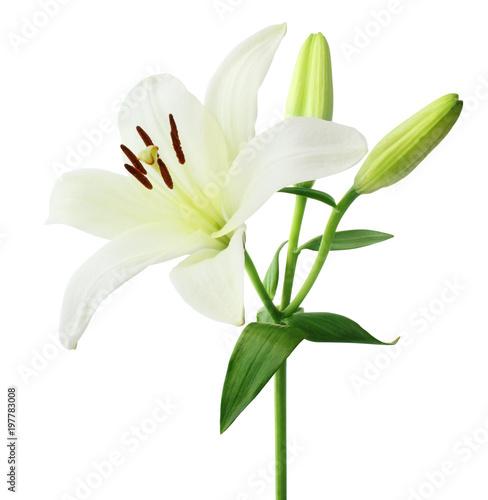 Piękna biała leluja z pączkami odizolowywającymi na białym tle wliczając ścinek ścieżki ,.