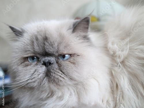 biały kot we wnętrzu
