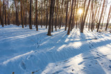 pine tree forest in a rays of sparkle sun