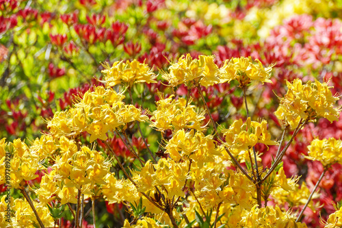 In de dag Azalea Blooming flowers of rhododendron - red and yellow.