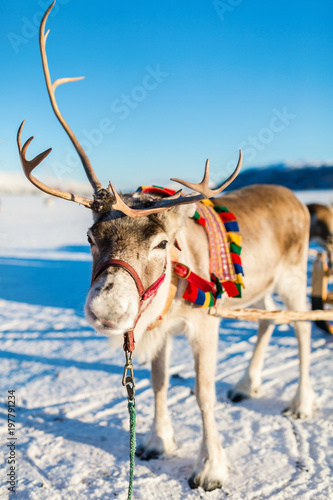 Foto op Canvas Beige Reindeer in Northern Norway