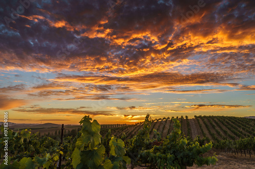 Deurstickers Wijngaard Brilliant summer sunset in Sonoma vineyard. Colorful sky and clouds, green vines in California wine country.