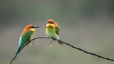 two Chestnut-headed Bee-eater on the wood stick