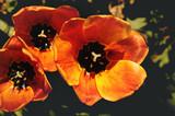 Orange tulip in sunlight
