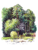 Drawn forest on white background (graphic)