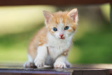 red and white kitten posing outdoors