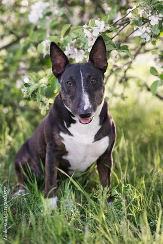 black english bull terrier dog posing outdoors in spring