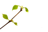 Branch of birch with young leaves and buds isolated on white background top view  flat lay layout