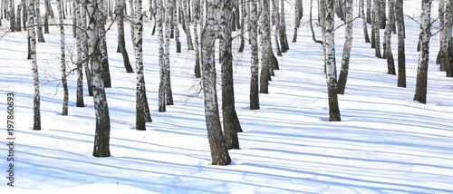 Beautiful white birches in birch grove - 197860693