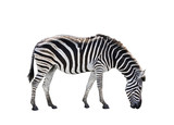 side view full body of african zebra isolated white background