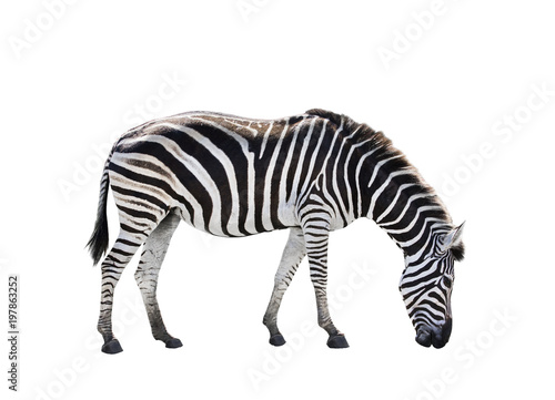 side view full body of african zebra isolated white background - 197863252