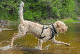 Young active white wire-haired spinone italiano breed dog runs in the water having fun splashing around the Ruostejärvi lake in Liesjarvi National park on a summer day in Southern Finland, Europe
