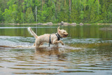 Young wet white wire-haired spinone italiano breed dog retrieves a stick from the Ruostejärvi lake in Liesjarvi National park on a summer day in Southern Finland, Europe