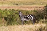 A zebra on a hill in the savannah. Masai Mara, Kenya