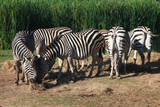 Group Zebra eatting grass near river