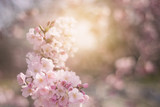 Spring flowers background with pink blossom, blooming garden - 197893406