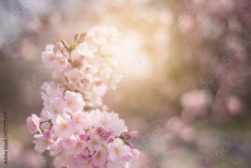Wiosna kwitnie tło z różowym okwitnięciem, kwitnie ogród