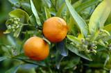 Deux Oranges accrochées aux branches et feuillage vert