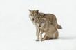 Leinwandbild Motiv wolves male and female walking together, isolated background