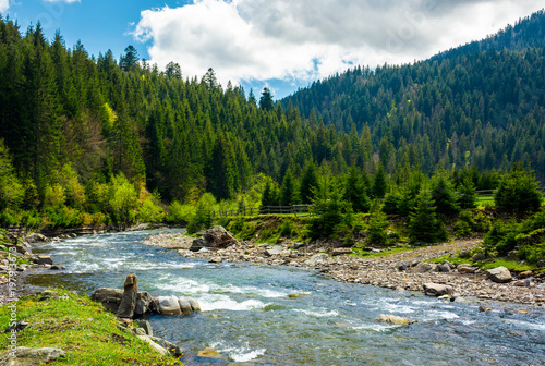 Foto Murales mountain river among the spruce forest. gorgeous landscape on a bright springtime day