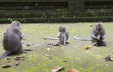 family of monkeys (Long-tailed macaque-Macaca fascicularis) in Sangeh Monkey Forest in Bali, Indonesia